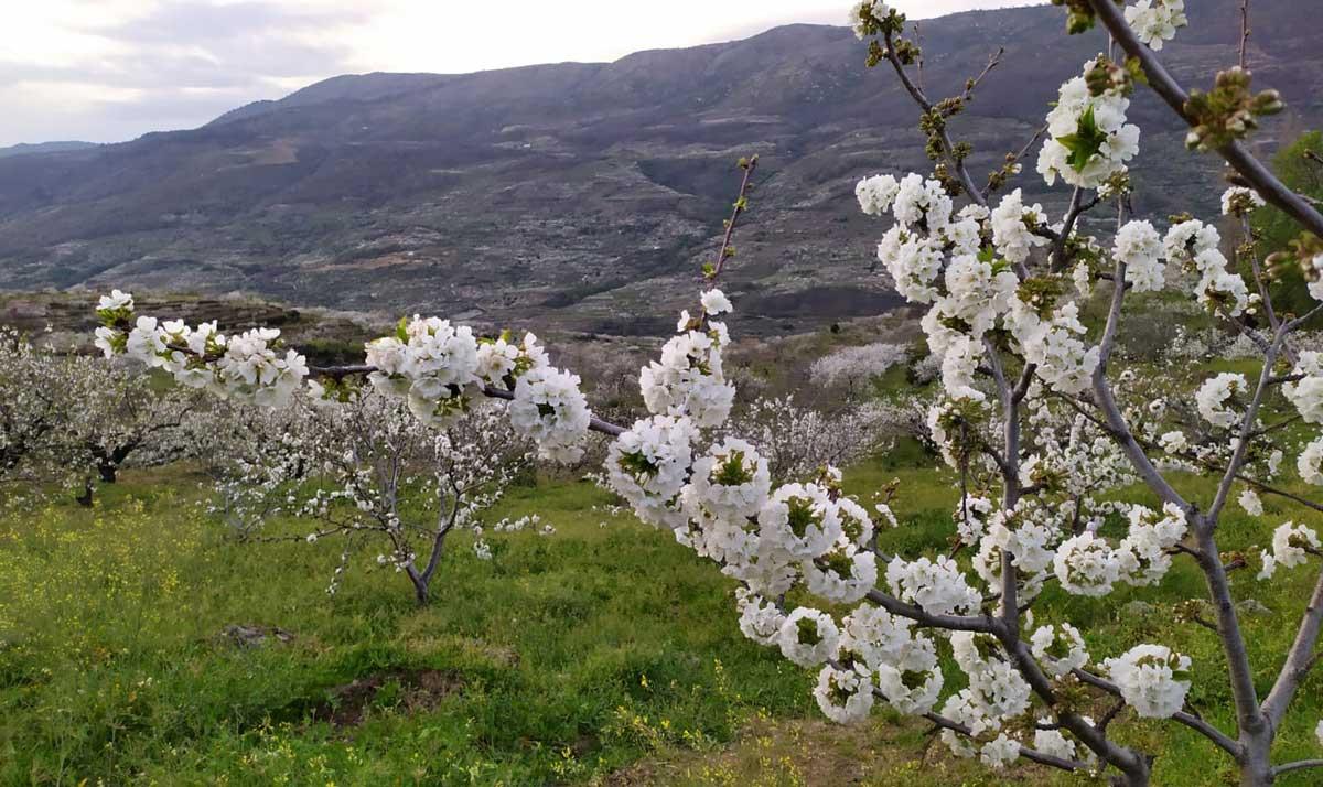 Cerezo en flor: La floración del cerezo
