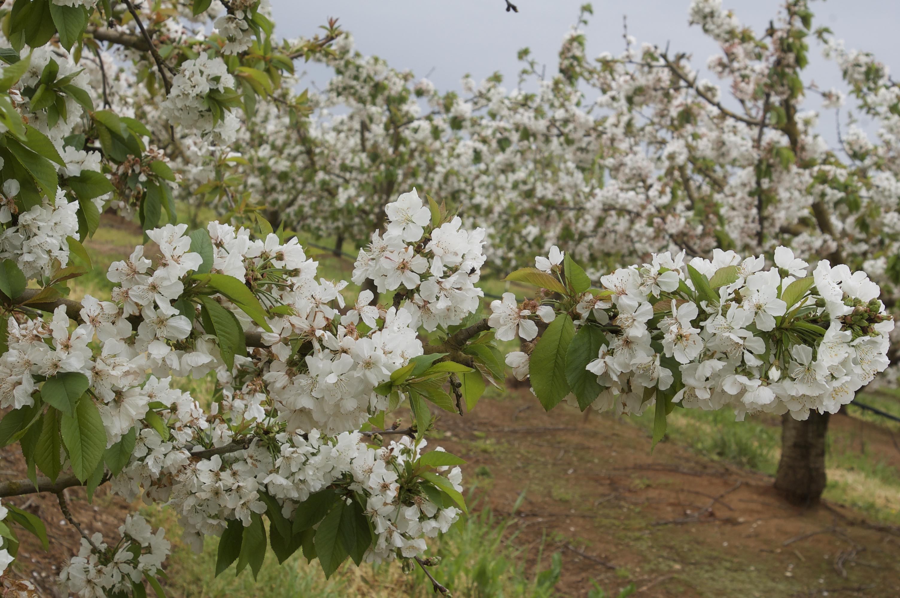 Temporada de cereza en el Jerte